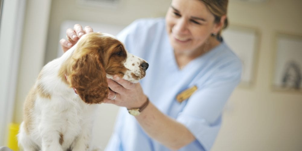 Veterinary Surgeon at Willows Veterinary Group examining dog