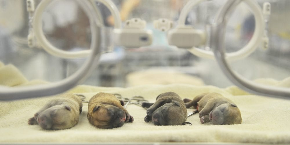 Puppies in an incubator