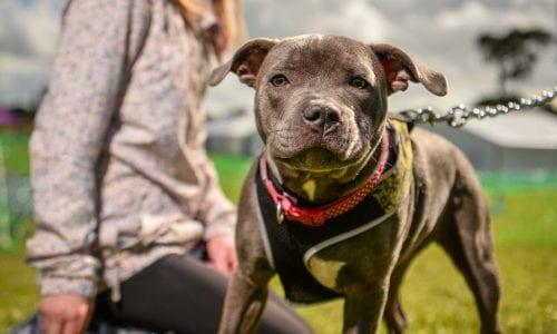 A Staffie at a dog show