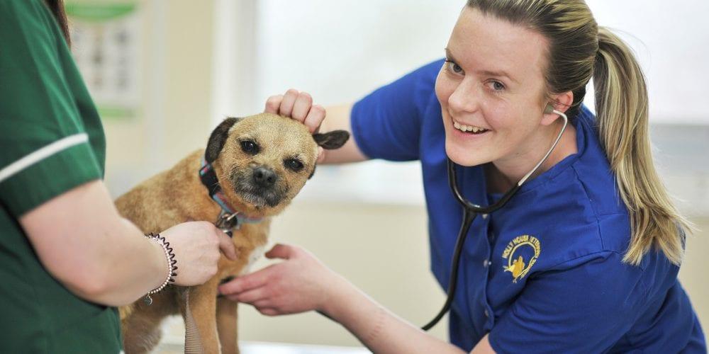 Vet examining a Border Terrier