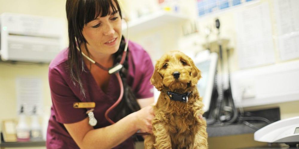 Vet examining a puppy