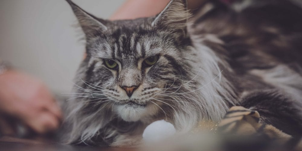 Dexter, the beautiful Maine Coon that swallowed sewing thread