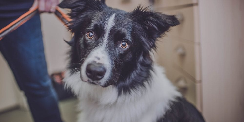 Bryn the border collie is a flyball star despite horrific leg break