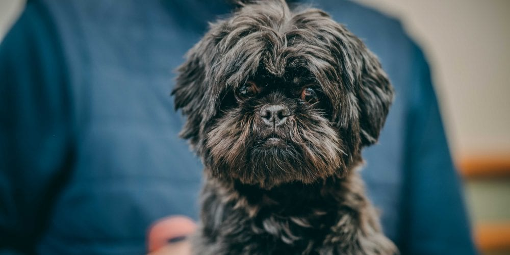Maggie May, the Shih Tzu who swallowed a sock