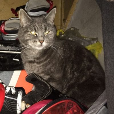 Missing grey cat Northwich