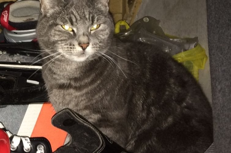 Missing grey cat Northwich