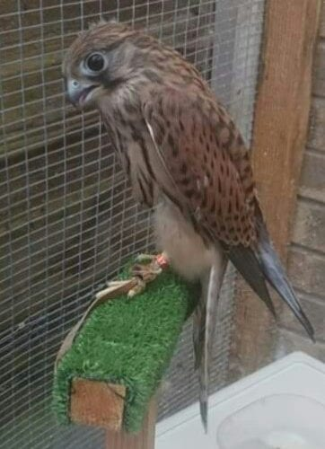 Missing kestrel