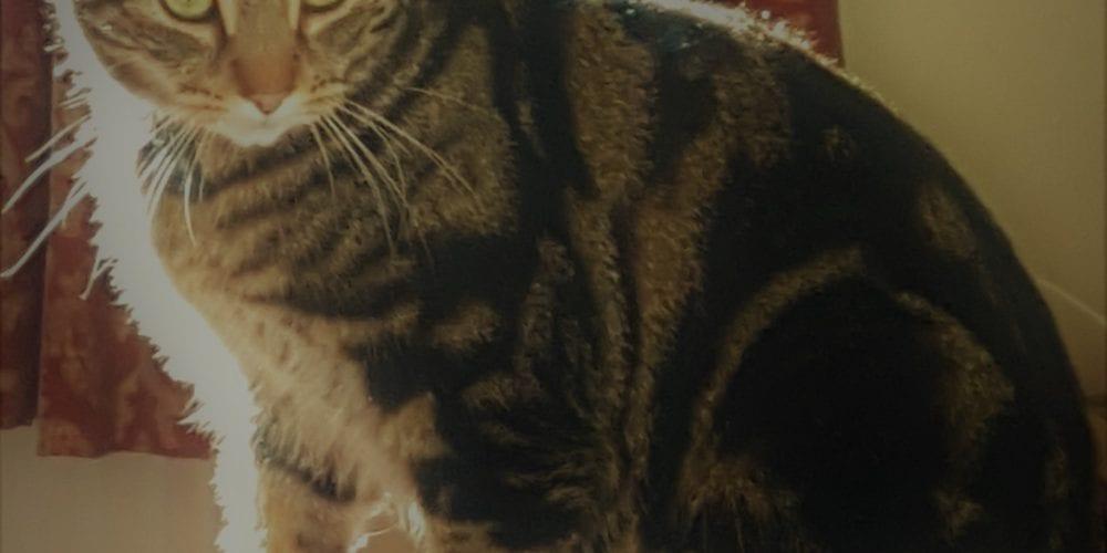 Cat Missing Hodge Lane Hartford