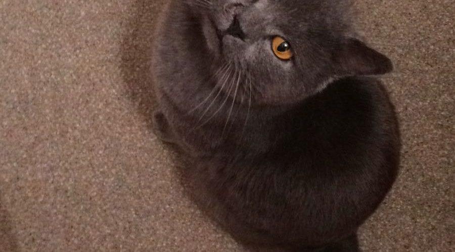 Chartreux cat missing