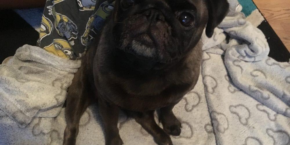 Pug found - Winsford
