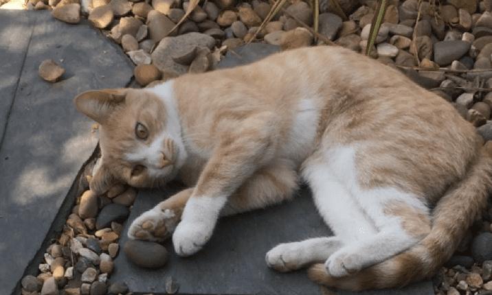 Missing cat Delamere park