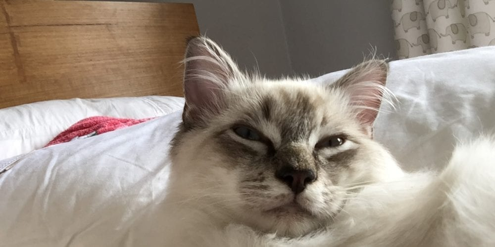 Missing Ragdoll Hale