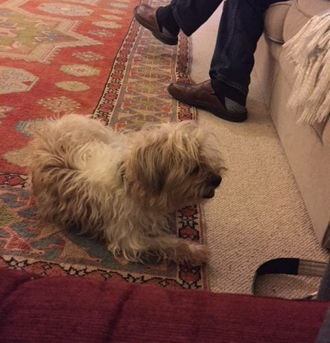 Dog Missing Over Peover