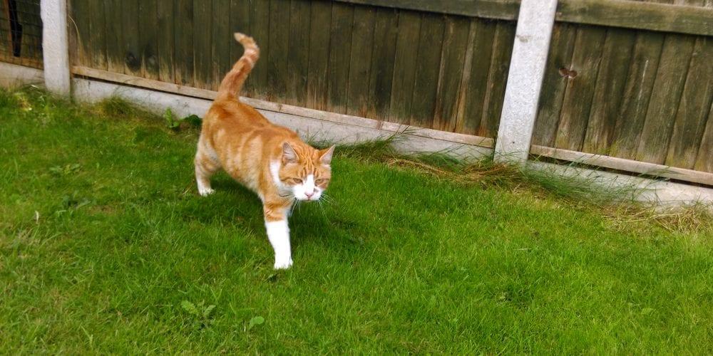 Cat Missing Cromwell Road, Winnington