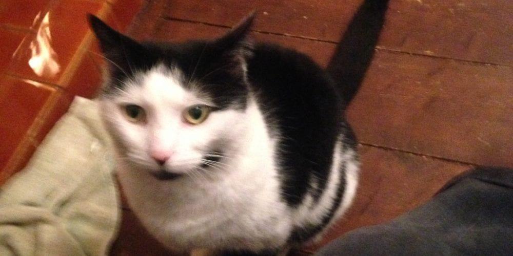 Cat Missing Hoylake