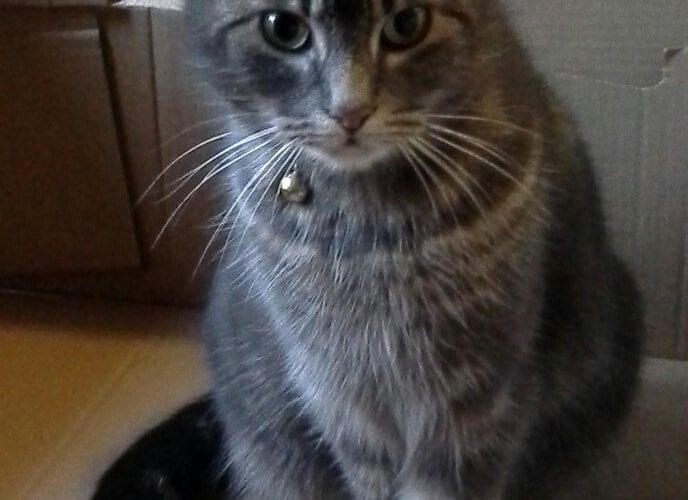 Cat missing Wallerscote Road