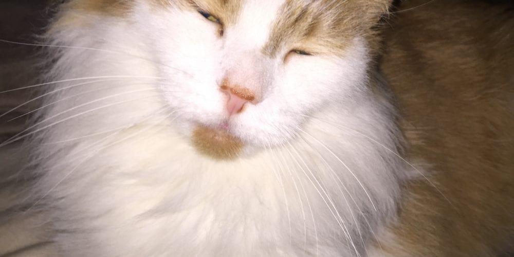 Cat Missing Plumley