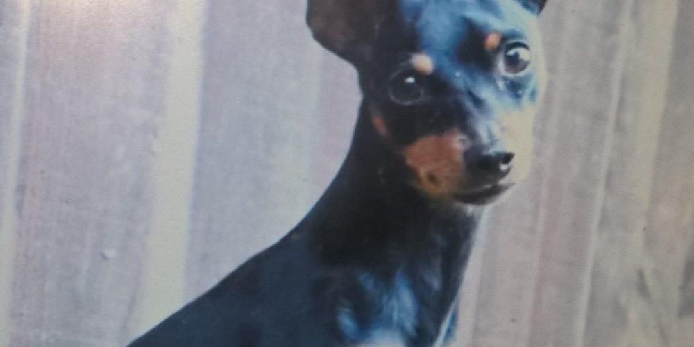 Missing dog haslington