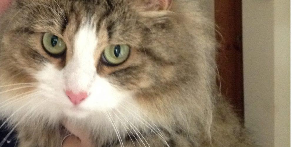 Siberian cat missing